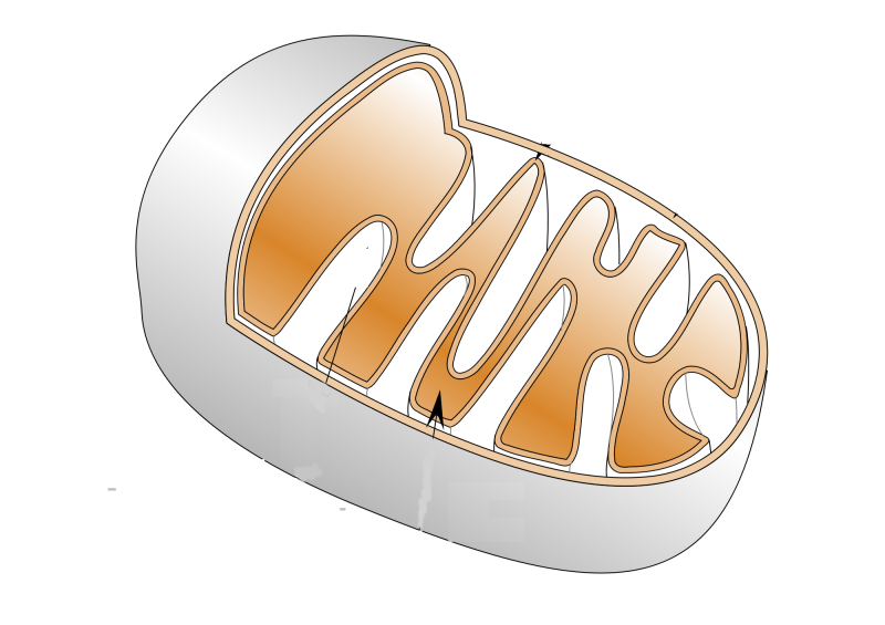 2000px-Mitochondrie